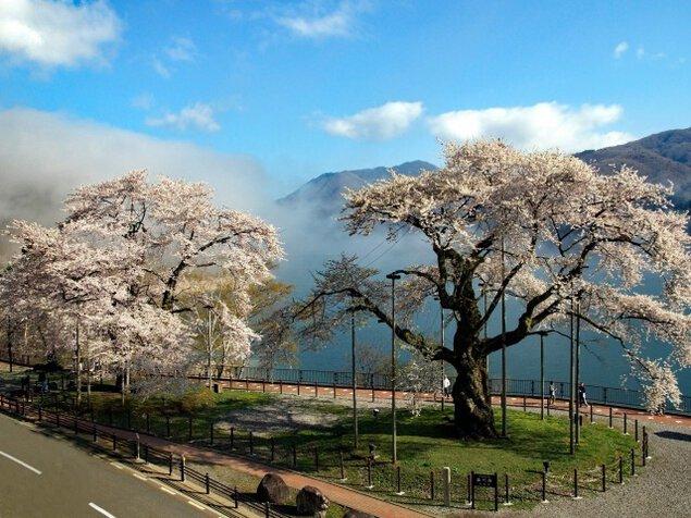 【桜・見ごろ】荘川桜