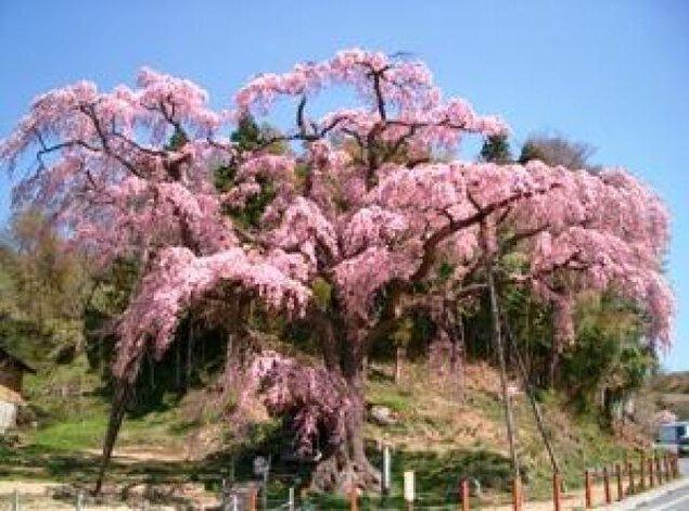【桜・見ごろ】紅枝垂地蔵ザクラ
