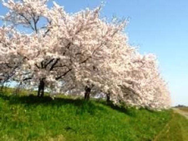 【桜・見ごろ】万本桜植樹帯