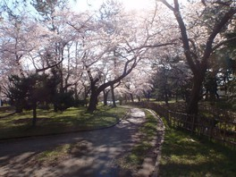 合浦公園の桜