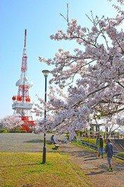 高麗山公園(湘南平)の桜