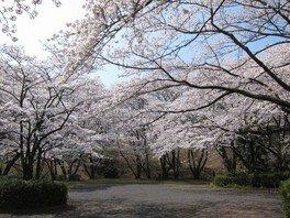 いろは坂桜公園の桜