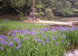 【花・見ごろ】弁財天の池 カキツバタ