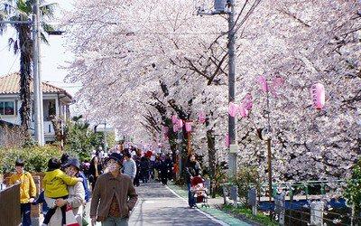 東川(あずまがわ)の桜