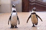 ペンギンのお散歩