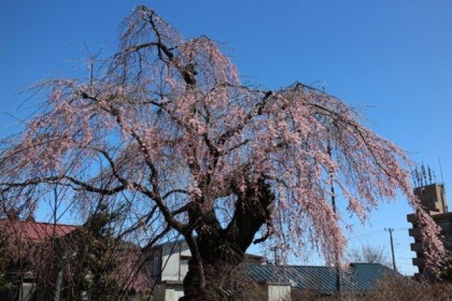 【桜・見ごろ】岸野家のしだれざくら