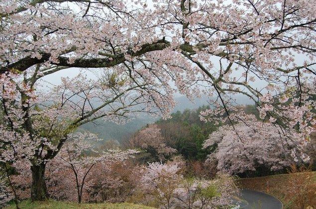 【桜・見ごろ】沓掛峠のヤマザクラ群