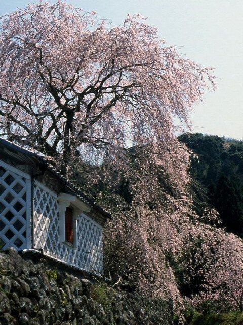 【桜・見ごろ】深根城址