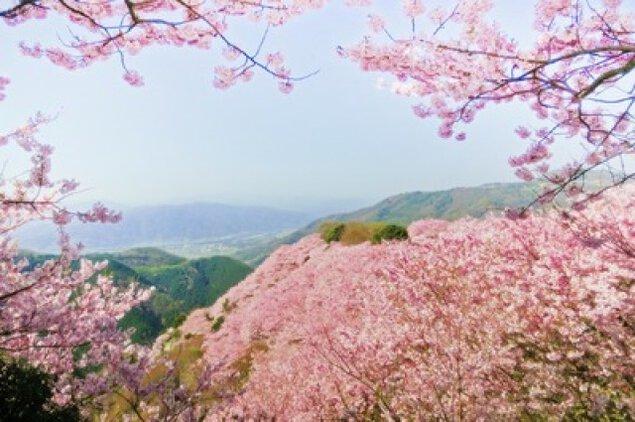 【桜・見ごろ】八百萬神之御殿