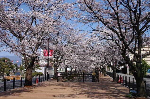 さくら温泉通りの桜
