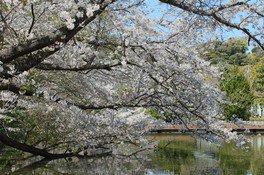 鶴岡八幡宮の桜