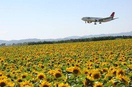 【花・見ごろ】空港横リサイクルセンター前のひまわり