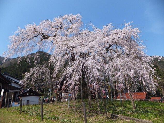 【桜・見ごろ】泰雲寺のしだれ桜