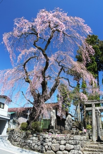 【桜・見ごろ】虚空蔵尊のしだれざくら