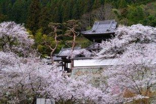 【桜・見ごろ】大雲寺