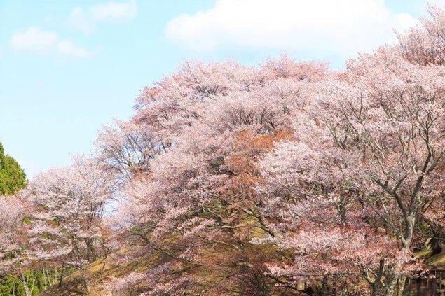 【桜・見ごろ】丸山公園の山桜