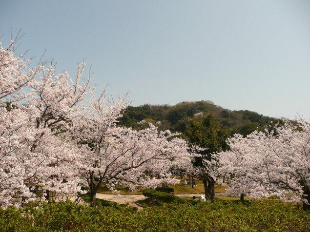 【桜・見ごろ】湊山公園