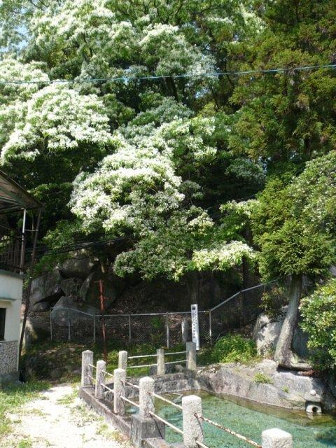 【花・見ごろ】釜戸のヒトツバタゴ自生地