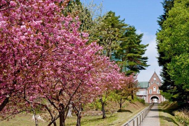 【桜・見ごろ】トラピスト修道院