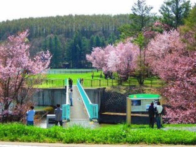 【桜・見ごろ】聖台ダム公園