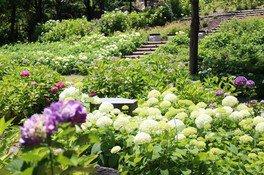 【あじさい・見ごろ】淡路島国営明石海峡公園 アジサイ