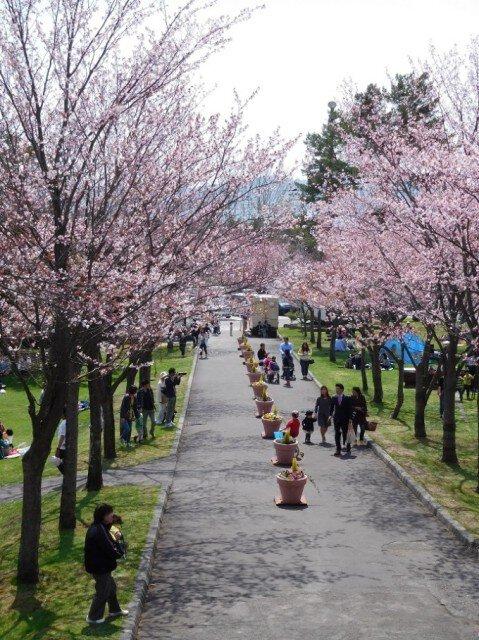 【桜・見ごろ】栗山公園
