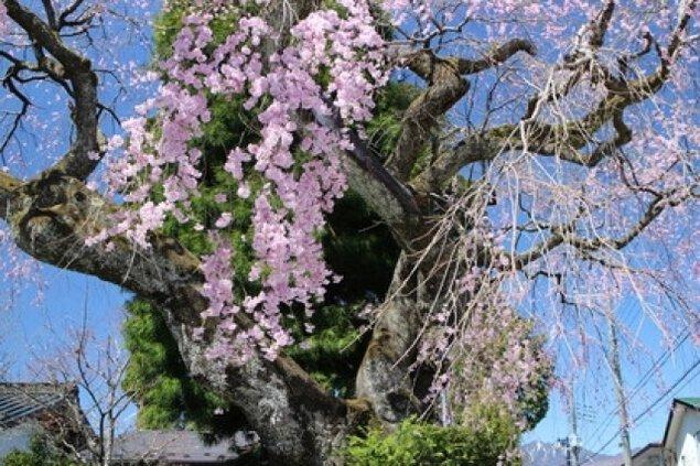 【桜・見ごろ】高田家のしだれざくら