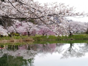 【桜・見ごろ】治田公園