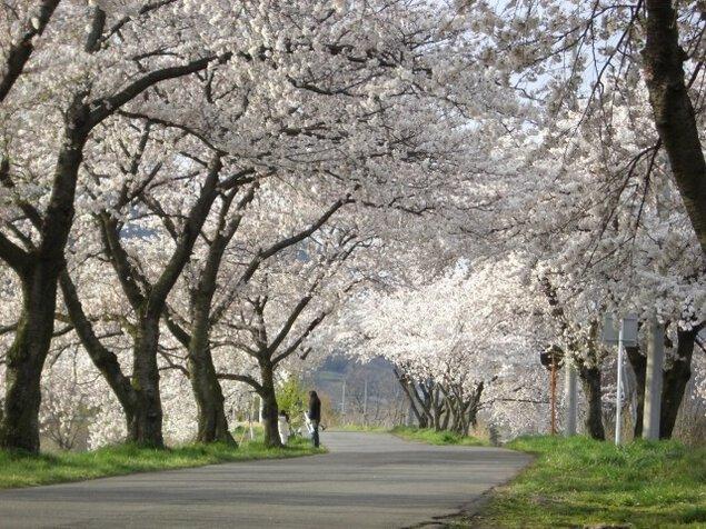【桜・見ごろ】茶臼山の桜並木