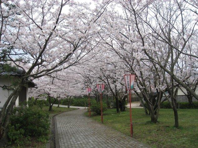 【桜・見ごろ】名和公園