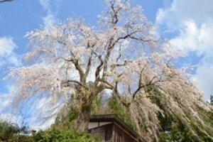 【桜・見ごろ】栗山沢さくら広場 しだれ桜