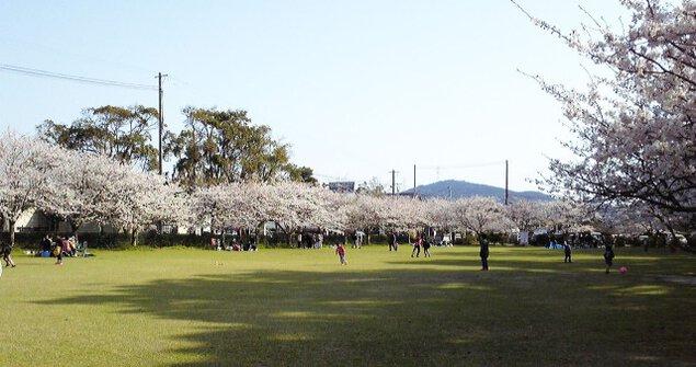 【桜・見ごろ】鏡神社 神苑