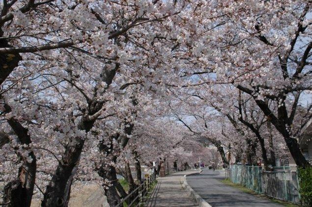 【桜・見ごろ】さくらさくらのさんぽみち