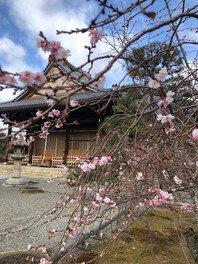 大本山 妙蓮寺の桜