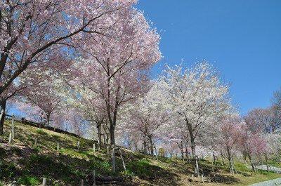 【臨時休園】東山動植物園の桜