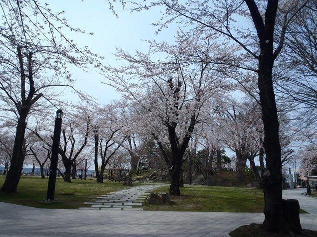 三八城公園の桜