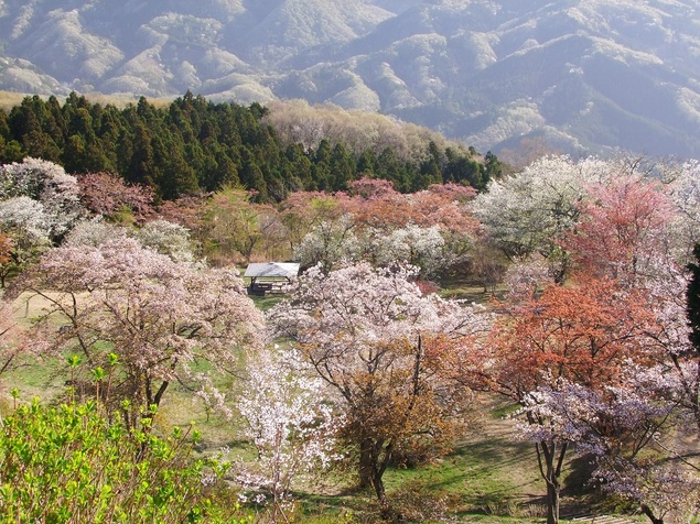 美の山公園の桜