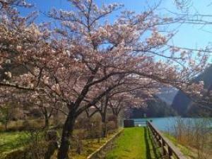 【桜・見ごろ】水殿ダム