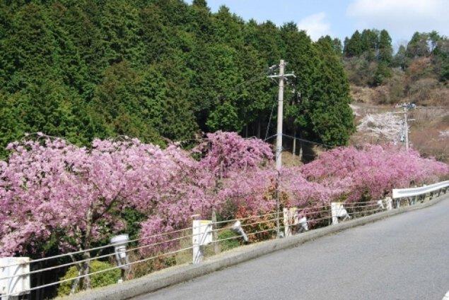 比叡山ドライブウェイ 夜桜&夜景