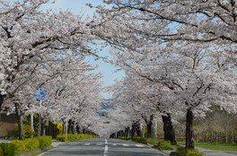 遠くまで続くソメイヨシノの並木道