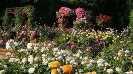色とりどりのバラが来場者を迎えてくれる