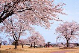 鳥見山公園の桜