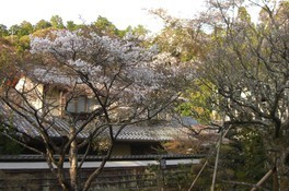 境内に華を添える桜の木々