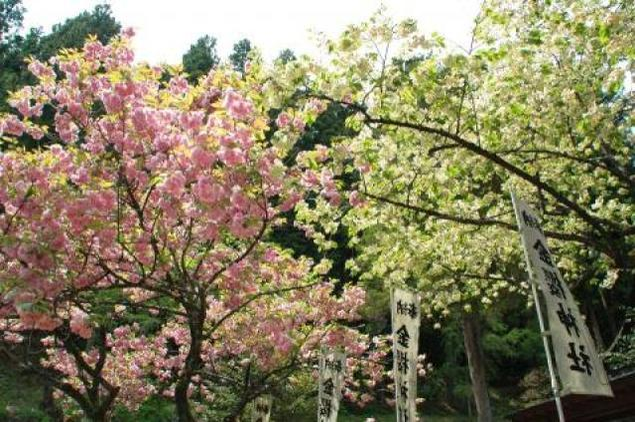 【桜・見ごろ】金櫻神社