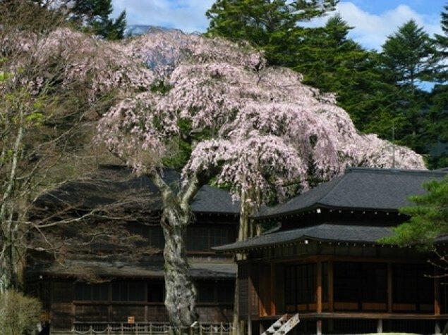 【桜・見ごろ】日光田母沢御用邸記念公園のしだれざくら