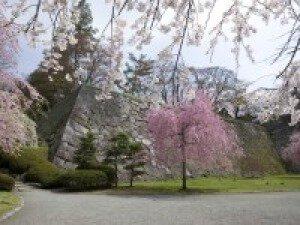 【桜・見ごろ】盛岡城跡公園