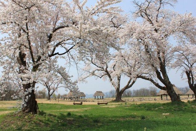 【桜・見ごろ】国特別史跡「大湯環状列石」