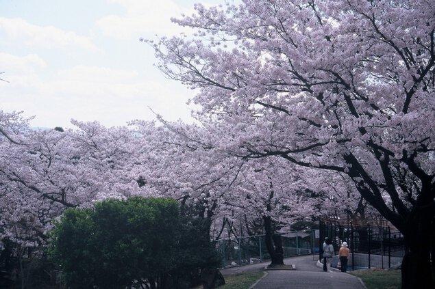 【桜・見ごろ】長野市・城山公園