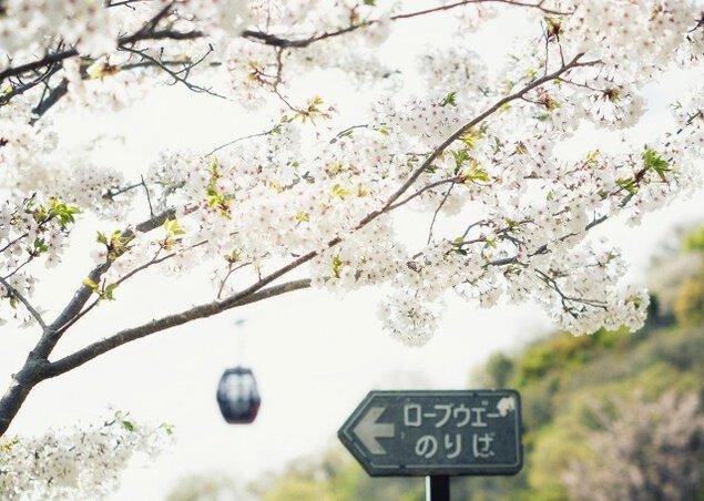 【桜・見ごろ】神戸布引ハーブ園/ロープウェイ<中止となりました>