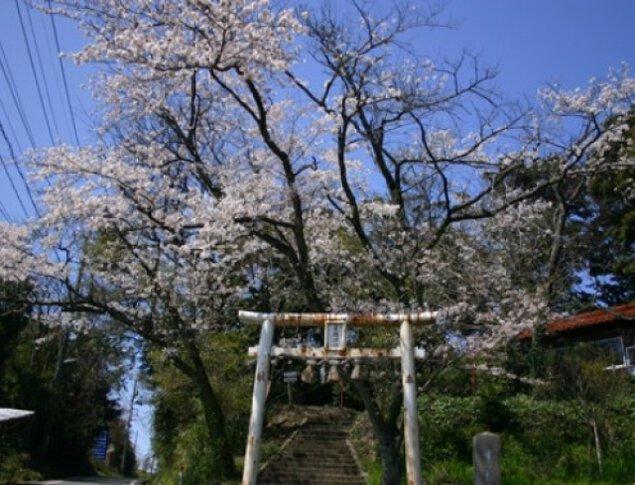 【桜・見ごろ】木の根神社